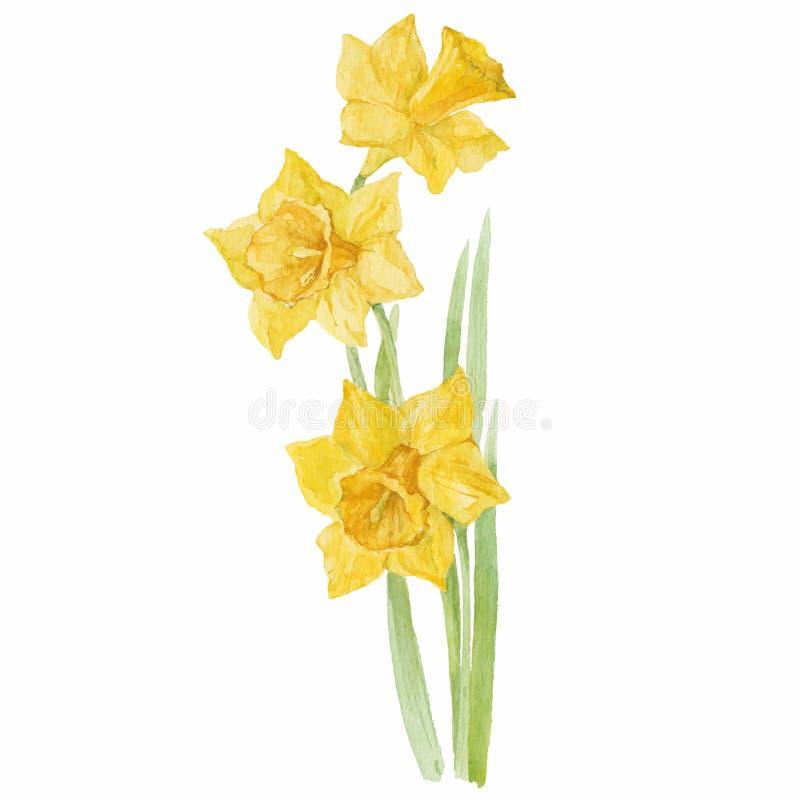 Весна цветет narcissus изолированный на белой предпосылке Вектор, w иллюстрация вектора