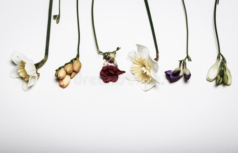 Весна цветет - narcissus, freesia, в белой предпосылке стоковые фотографии rf