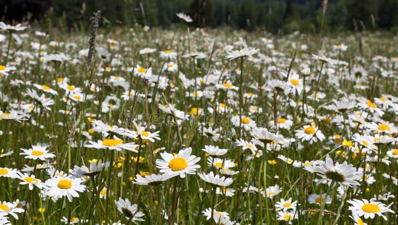 весна цветка маргаритки стоковая фотография rf