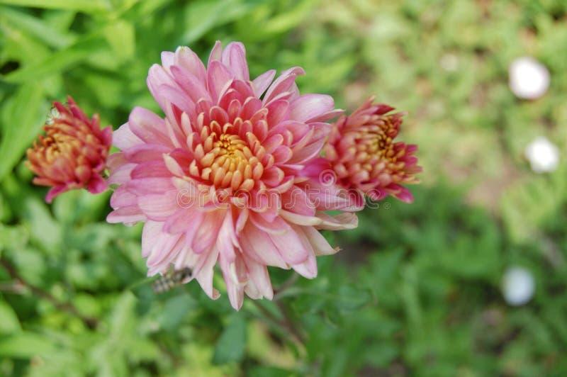 Весна цветя фиолетов-розовые пионы стоковое изображение rf