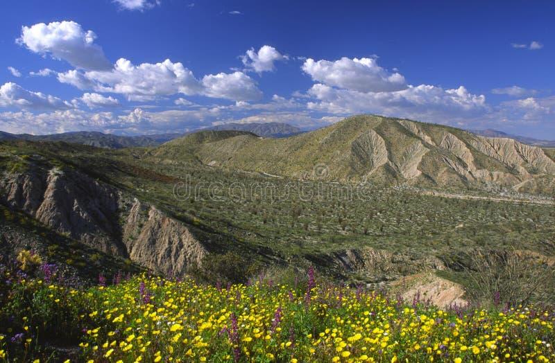 весна borrego цветеня anza стоковое изображение