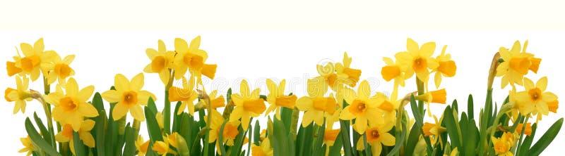 весна daffodils граници стоковое фото rf