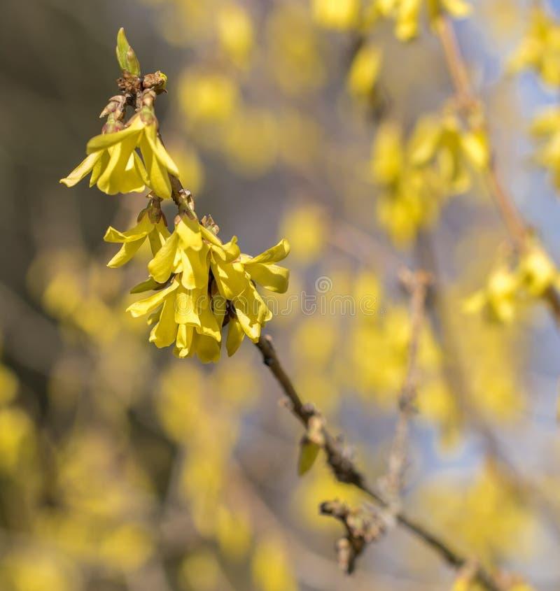 Весна flowersin Forsythia предыдущая Цвести forsythia в саде Bokeh стоковые изображения