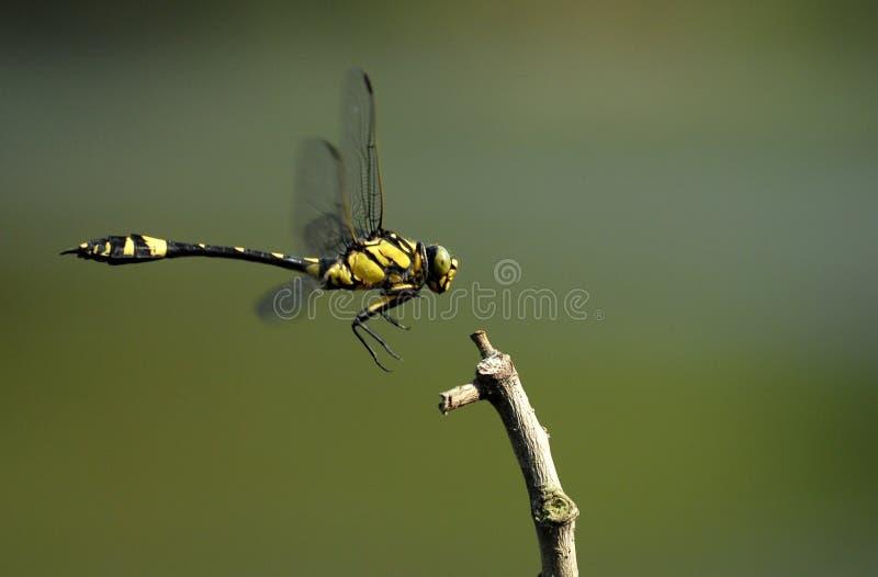 весна selys gomphidia dragonflies confluens стоковое изображение