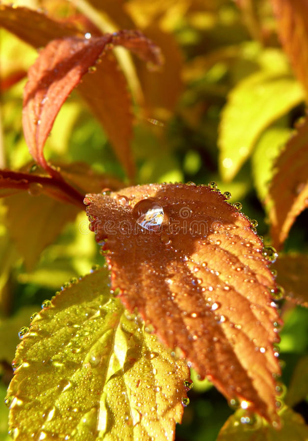 весна spirea дождя стоковые фотографии rf