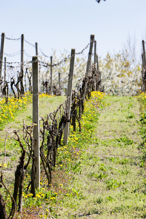 весна vineyar стоковое фото rf