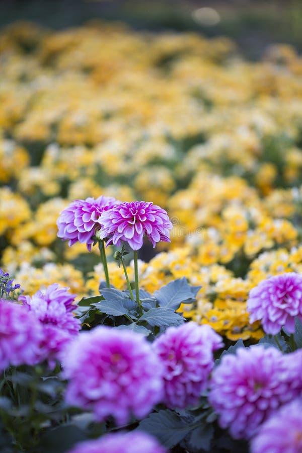 Весной хризантемы стоковые изображения rf