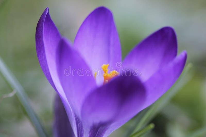 Весны апреле -го цветок леса первоцвета в марте стоковая фотография rf