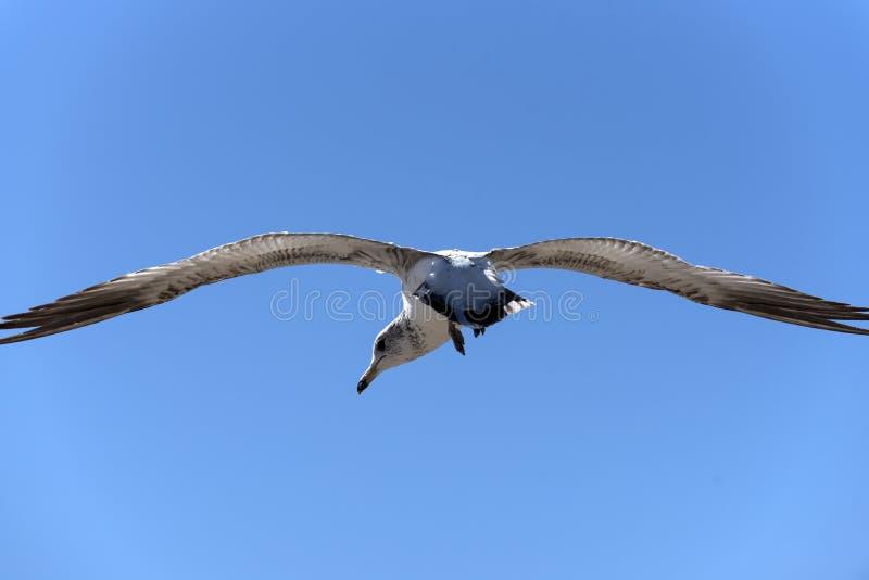 Весьма крупный план чайки стоковое изображение
