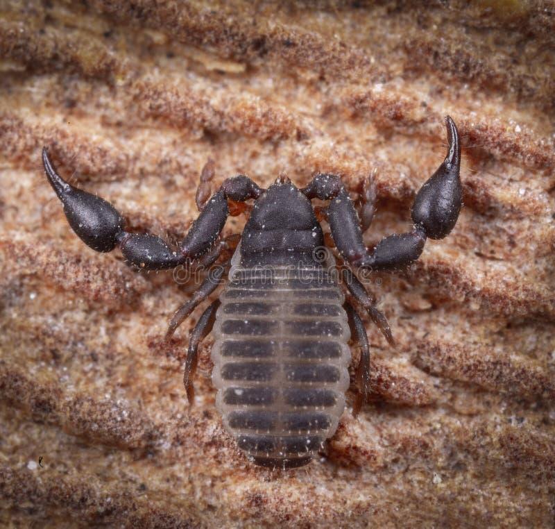 Весьма фотография макроса псевдо скорпиона на древесине стоковые фото