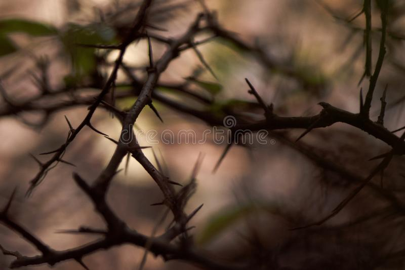 ветвей тернового дерева стоковые фотографии rf