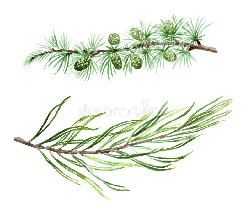 Ветви акварели сосны и спруса лиственницы
