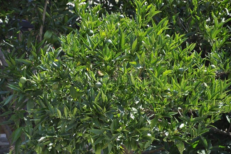 Ветви апельсинового дерева с зеленой предпосылкой плодов стоковые изображения rf