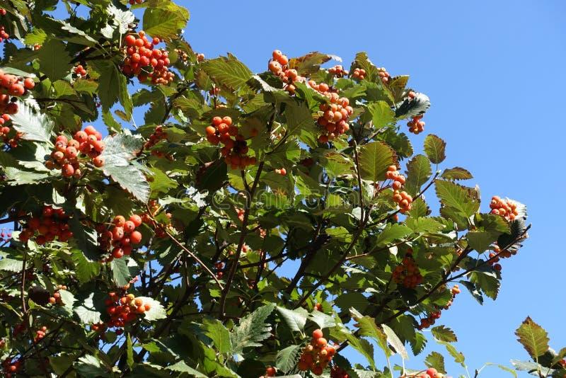 Ветви арии рябины с ягодами против голубого неба в сентябре стоковое фото rf