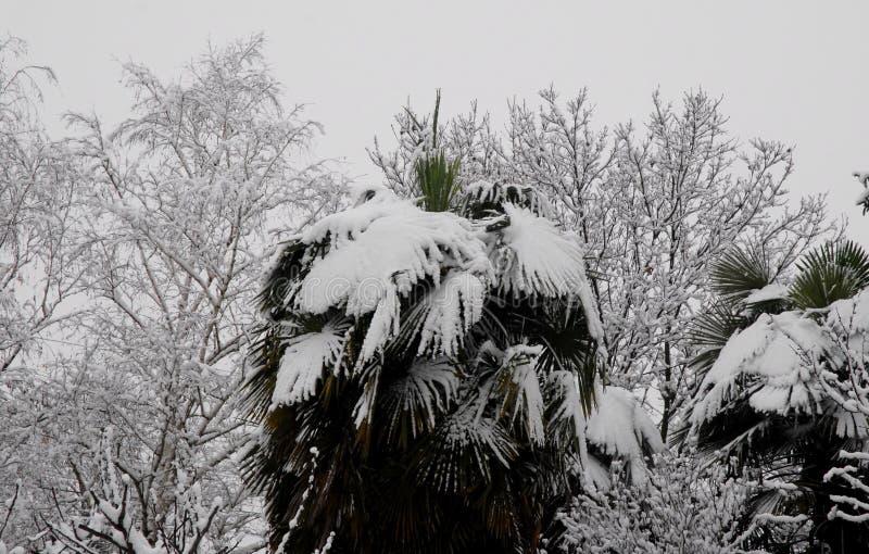 Ветви ладони и другого ricpoprti деревьев идут снег стоковая фотография