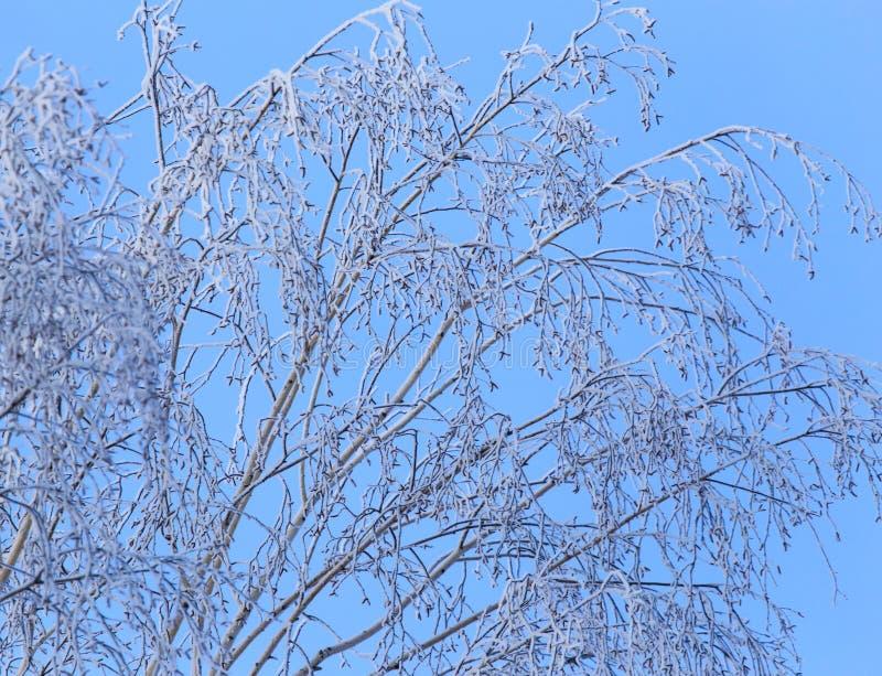 Ветви березы Snowy в зиме против неба стоковое фото