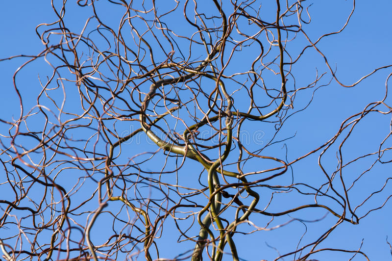 Ветви вербы штопора стоковое фото rf