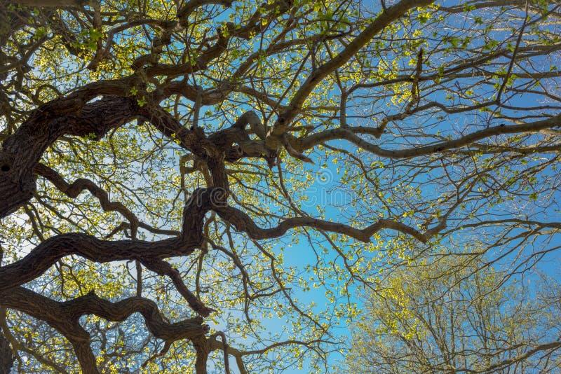 Ветви весной снизу с голубым небом стоковая фотография rf