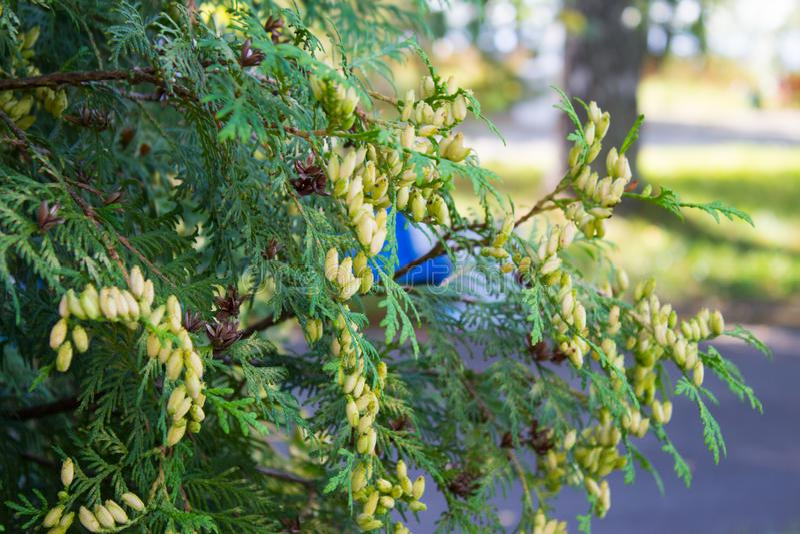 Ветви вечнозеленой туи с конусами семени Естественное зеленое backg стоковые изображения rf