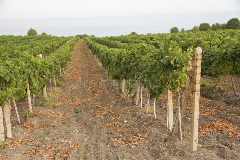 Ветви виноградины растущие с виноградинами стоковое фото rf