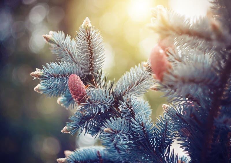 Ветви голубого спруса с молодыми конусами стоковые фото