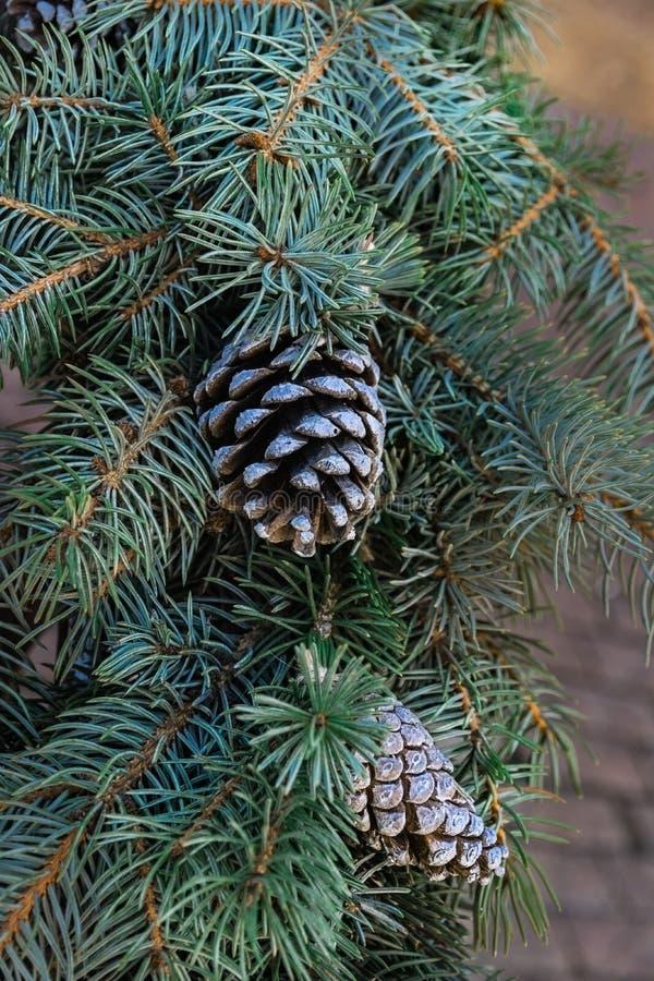Ветви голубой рождественской елки с конусами стоковая фотография