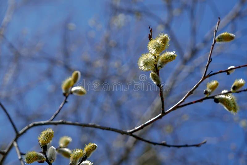 Ветви дерева вербы отпочковываясь в предыдущей весне стоковая фотография rf