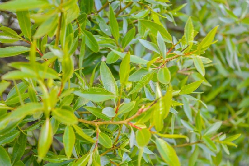 Ветви дерева вербы с молодыми зелеными листьями как предпосылка природы стоковые фотографии rf