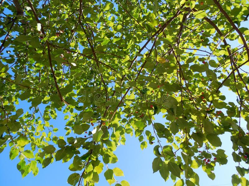 Ветви дерева в зеленом взгляде листьев и ягод нижнем стоковое фото