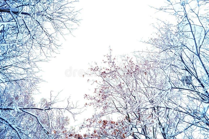 Ветви дерева в снеге на белой предпосылке стоковые изображения rf