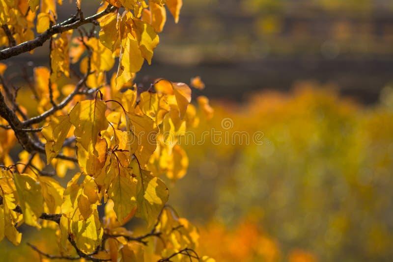 Ветви дерева осени с желтыми листьями стоковые изображения rf