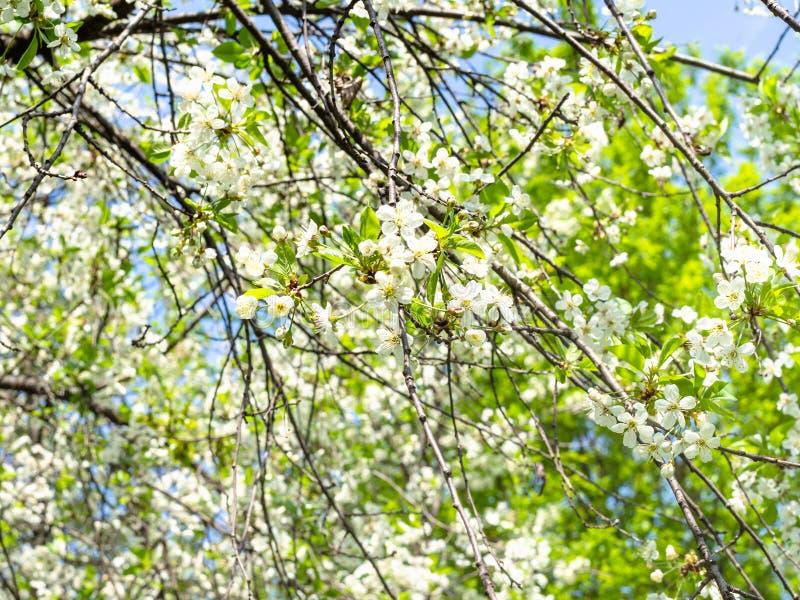 Ветви дерева с белыми цветениями в саде стоковое фото rf