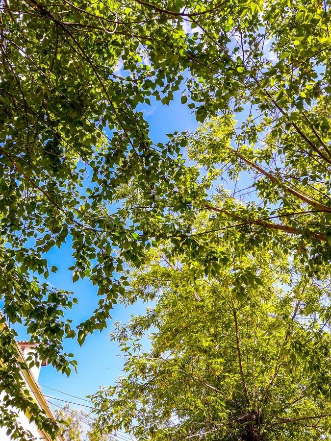 Ветви дерева с зелеными листьями против голубого неба стоковые изображения rf