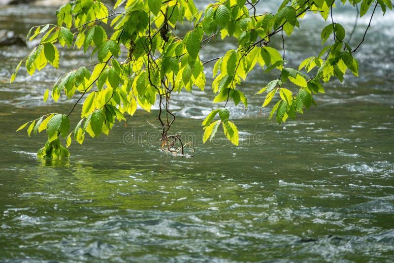 Ветви дерева с зелеными листьями согнутыми над водой реки горы Fagus Orientalis, обыкновенно известный как восточное стоковые изображения