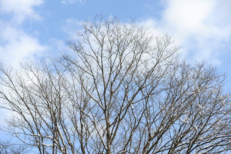 Ветви дерева с снегом Предпосылка голубого неба с белыми облаками стоковое фото