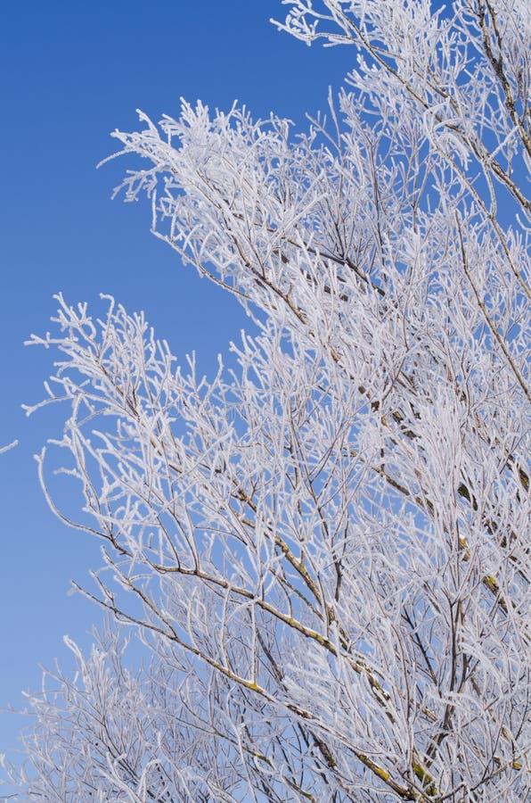 ветви деревьев в морозе на фоне голубого неба стоковое фото