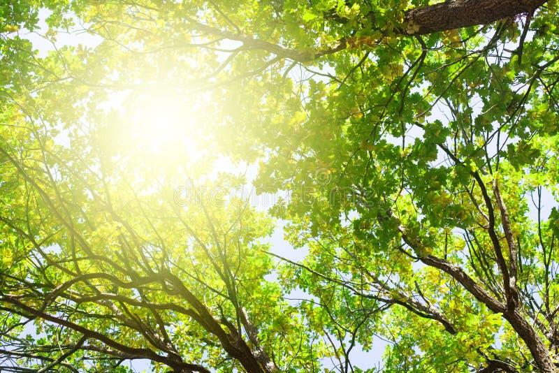 Ветви дуба с зелеными листьями на голубом небе и яркой предпосылке света солнца, ландшафте природы солнечного дня лета стоковое фото rf