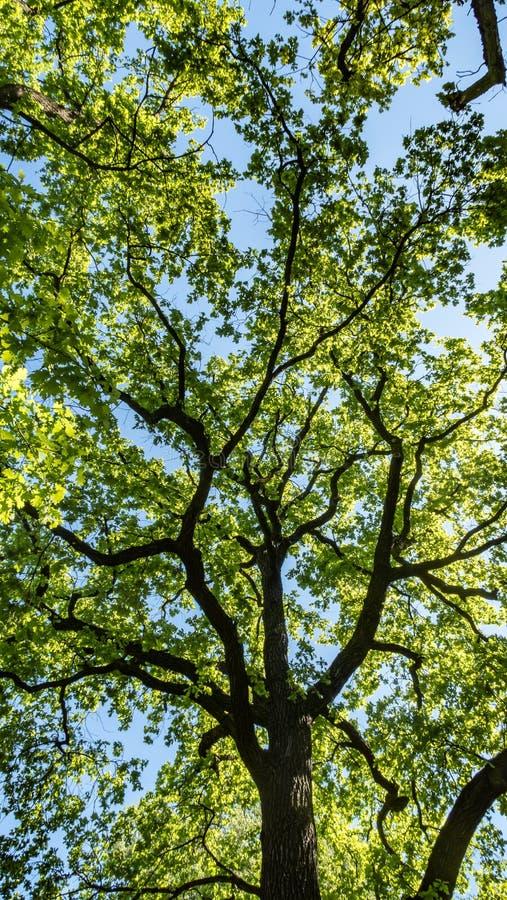Ветви дуба с свежим зеленым цветом выходят в небо стоковое изображение