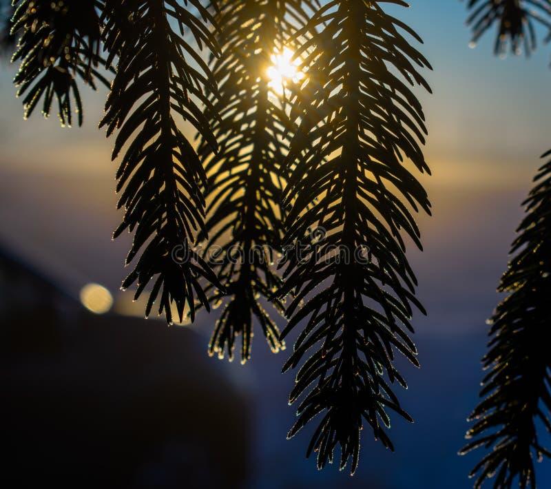 Ветви ели с заморозком стоковая фотография rf
