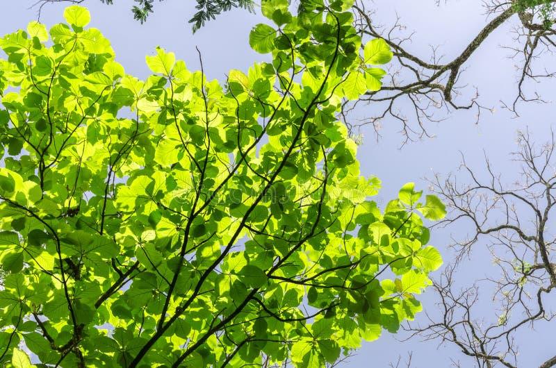 Ветви дерева с салатовыми листьями надземными стоковые изображения