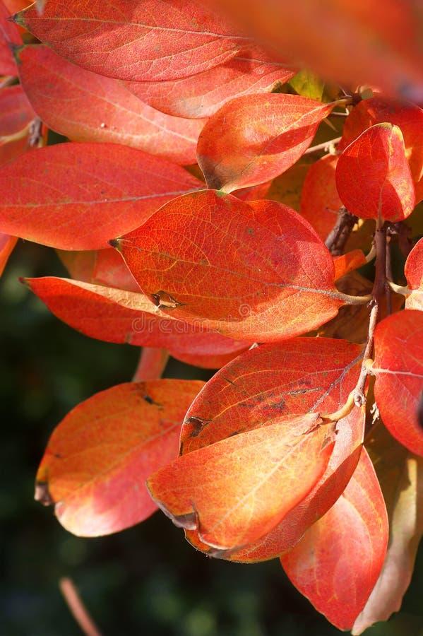 Ветви дерева хурмы в осени стоковые изображения rf