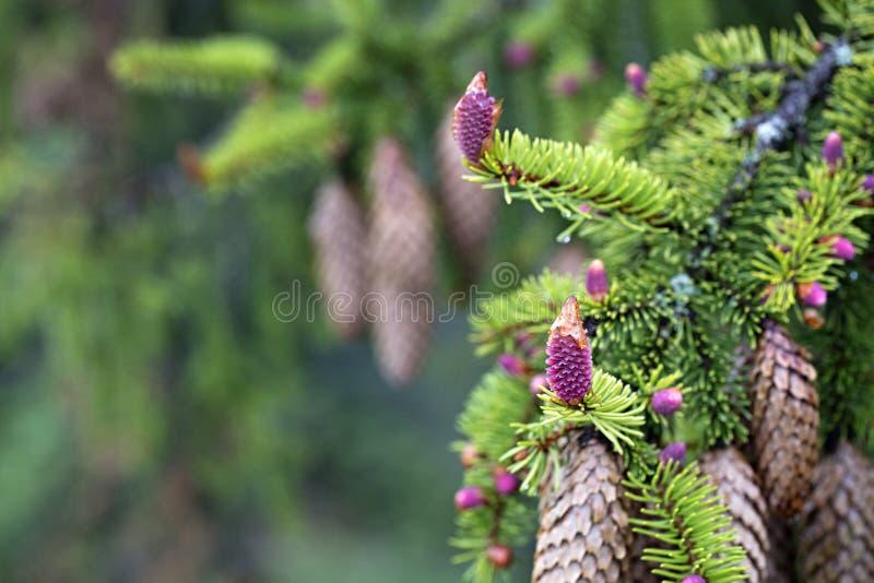 Ветви детенышей елевые с конусами на предпосылке старых конусов стоковые фотографии rf