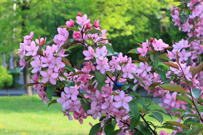 Ветви зацветая красивых розовых цветков яблони весной на фоне улицы города стоковое фото