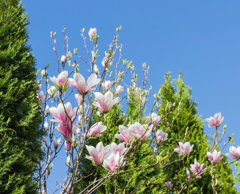 Ветви зацветая магнолии на предпосылке туи стоковые изображения rf
