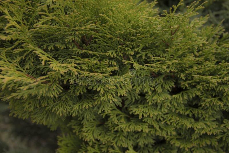 Ветви зеленого Tui загорены солнечным светом стоковое фото rf
