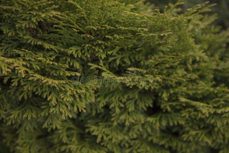 Ветви зеленого Tui загорены солнечным светом стоковая фотография rf