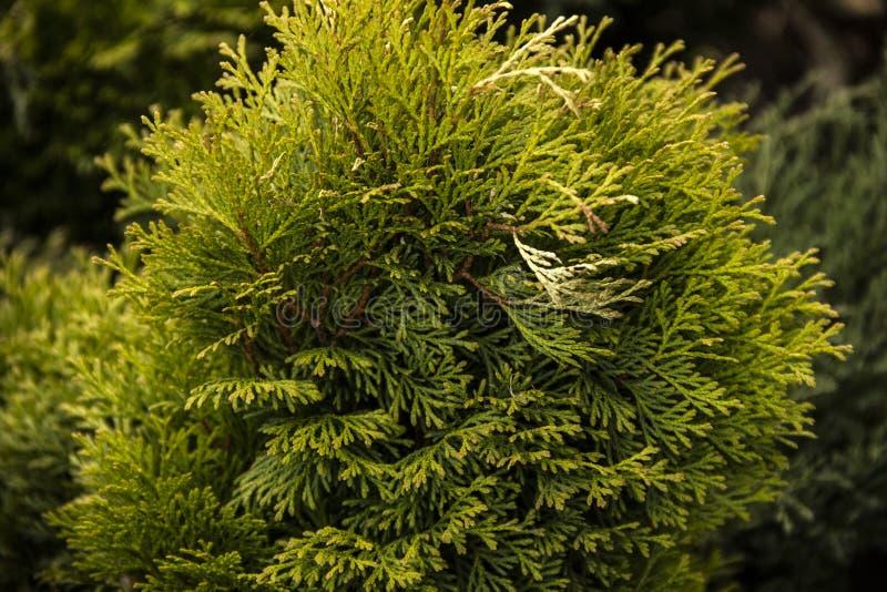 Ветви зеленого Tui загорены солнечным светом стоковые фото