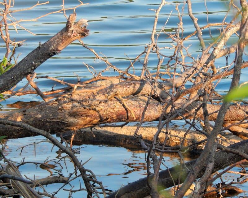 Ветви и ветви дерева озером Дуглас в Dandridge, Теннесси стоковая фотография