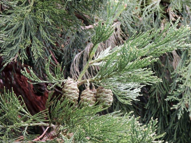 Ветви и зеленые конусы Sequoiadendron giganteum стоковое фото