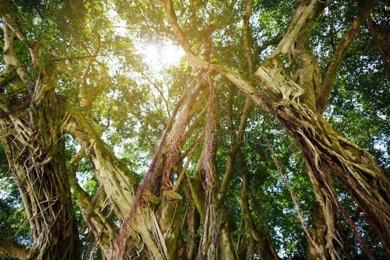 Ветви и корни смертной казни через повешение гигантского баньяна на большом острове Гаваи стоковое фото